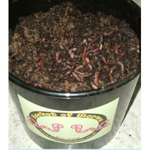 0.5 kg Large fishing worms